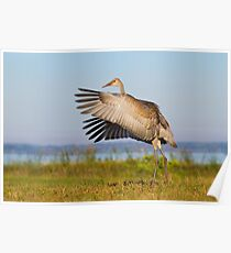 Juvenile Sandhill Crane Wingflap. Poster