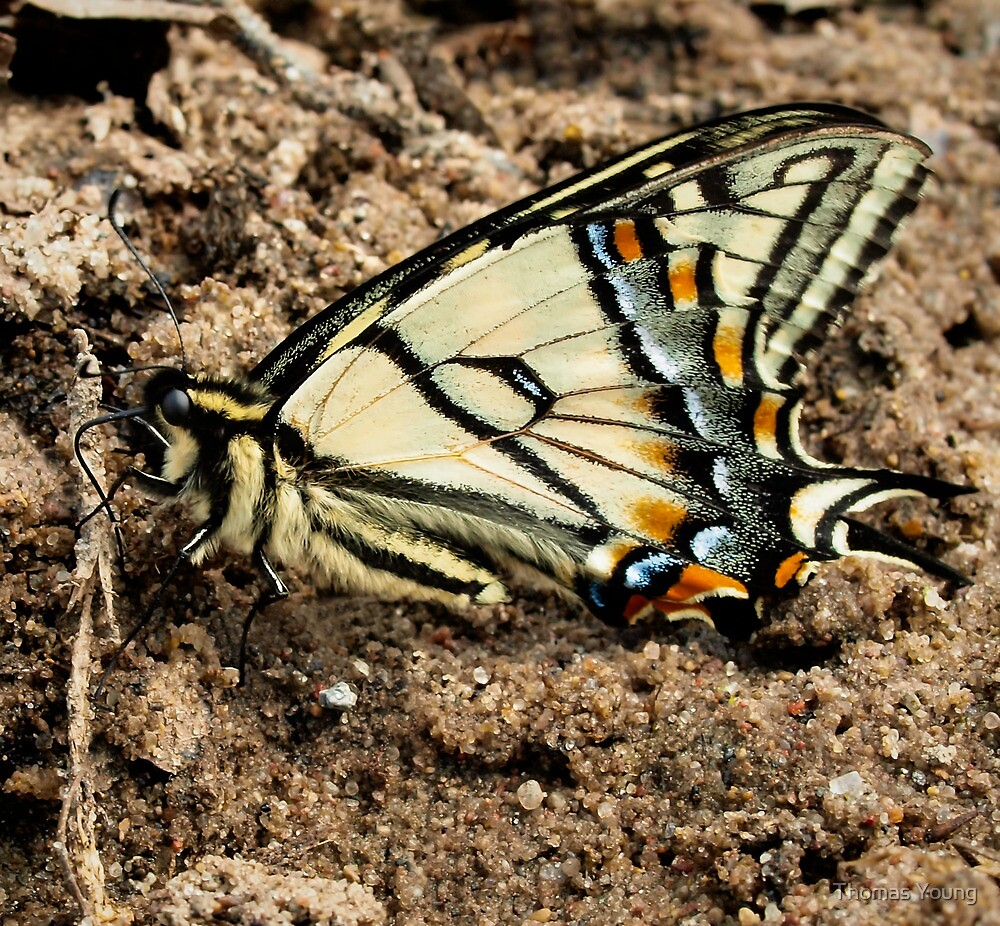 Canadian Tiger Swallowtail by Thomas Young