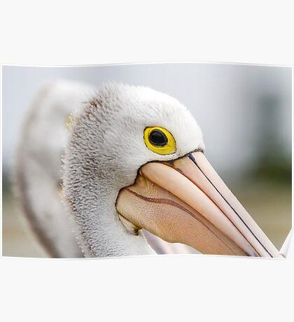 A Pelicans' Gaze Poster