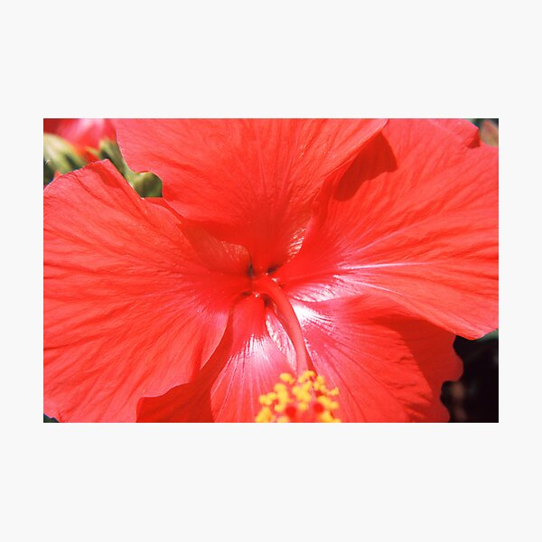 Hibiscus-Flower Of Summer Photographic Print