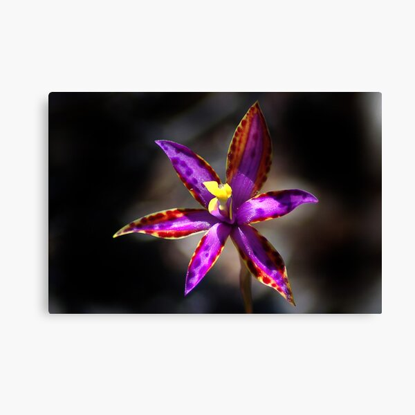 Eastern Queen Of Sheba Orchid.  Canvas Print