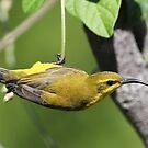 ''Yellow Sunbird'' by bowenite