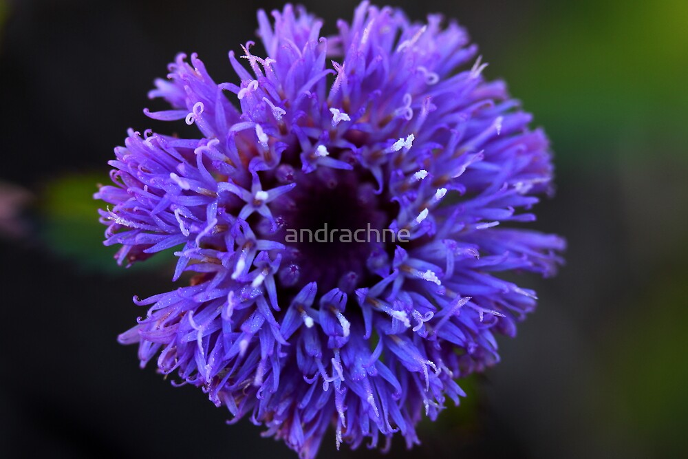 Centratherum riparium by andrachne