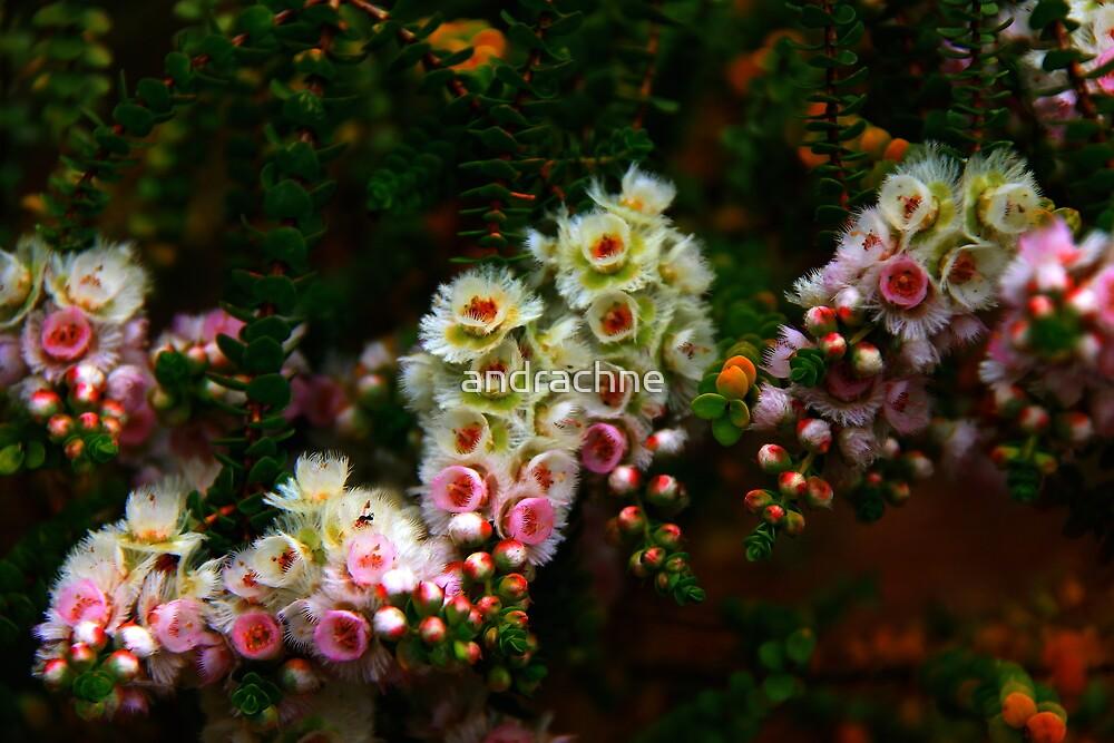 Verticordia albida  by andrachne