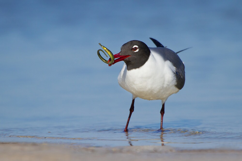 Laughing Gull Catching Pipefish. by Daniel Cadieux