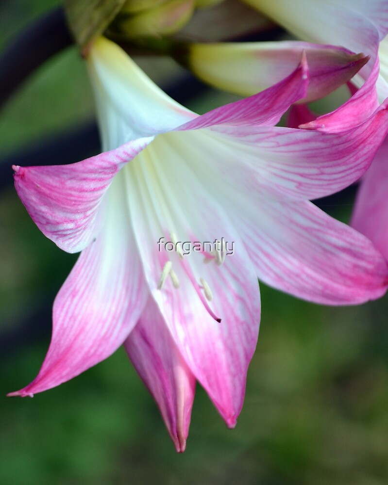Pink Flower by forgantly