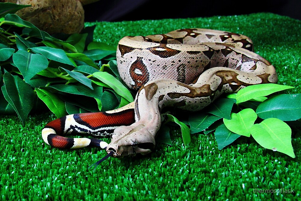 Red tailed suriname Boa constrictor by thermosoflask