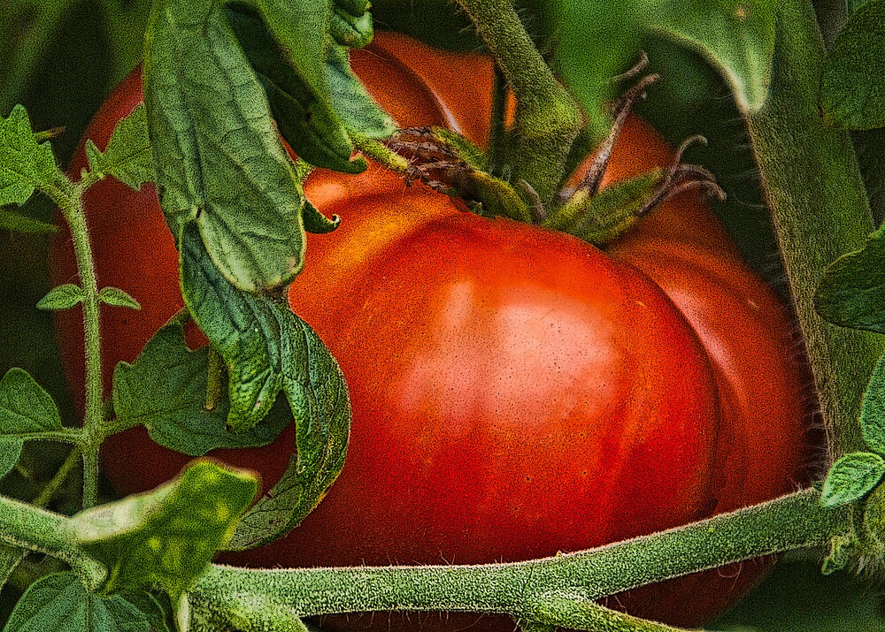 Big Red Tomato by Joy  Rector