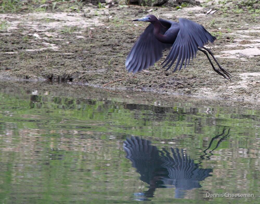 Little Blue Heron by Dennis Cheeseman