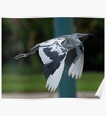 Juvenile little blue heron Poster