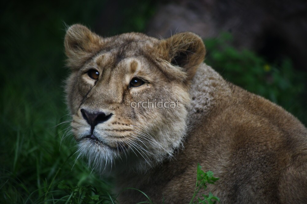 Young Asiatic Lion at Chester by orchidcat