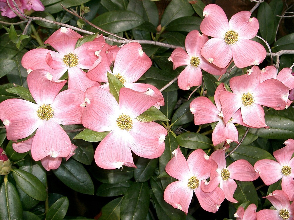 Dogwood by Dahbee