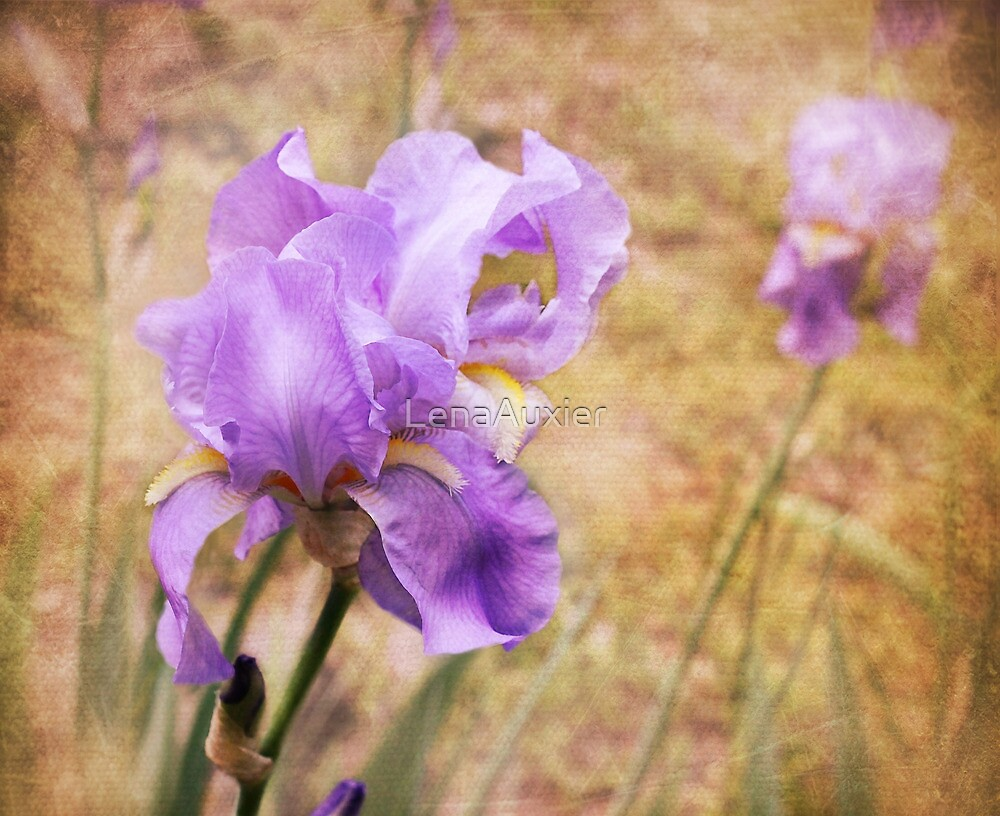 Iris by LenaAuxier