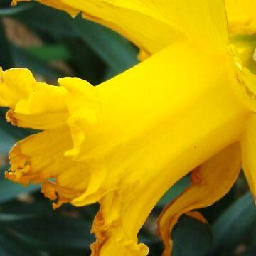 Daffodil by tillia58