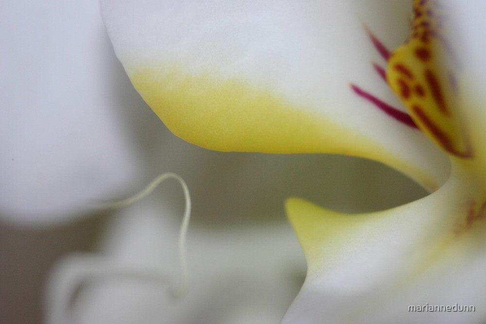 Orchid by mariannedunn