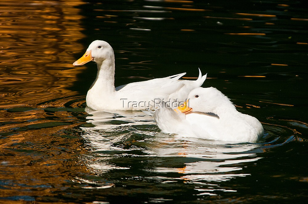 Ducks on the Pond by Tracy Riddell