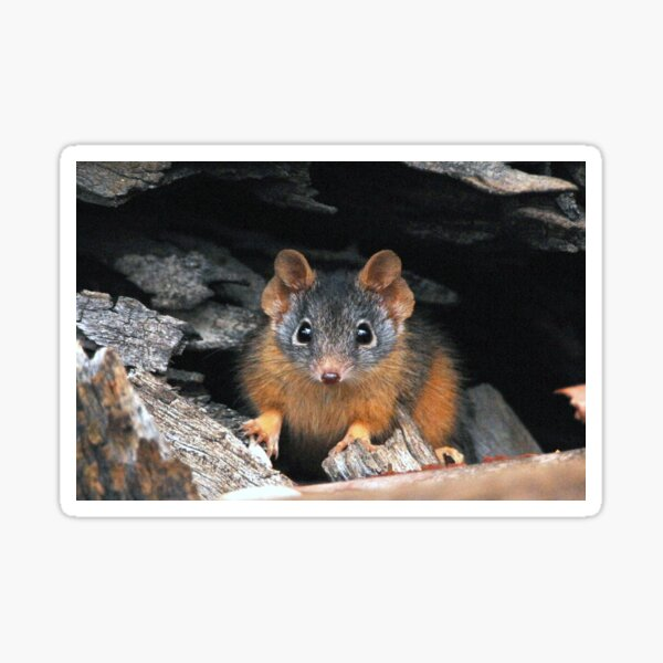 Yellow-footed Antechinus male Sticker