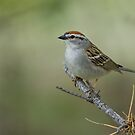 Chipping Sparrow by Wayne Wood