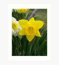 Daffodils! Art Print