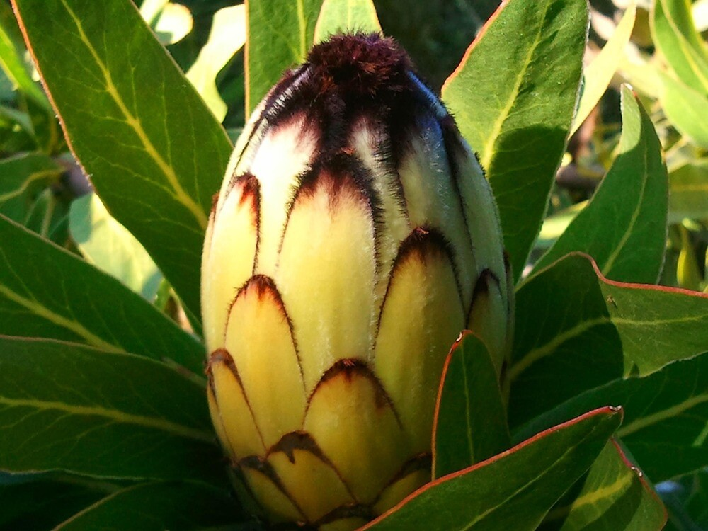 Yellow Protea Flower by kahoutek24
