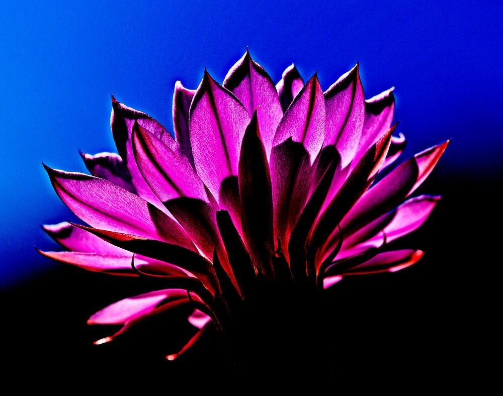 Desert Cactus Flower by Peter B