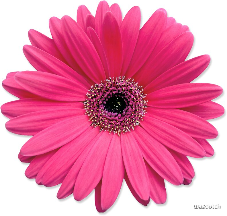 pink gerbera gerber daisy flower stickers stickers by. Black Bedroom Furniture Sets. Home Design Ideas