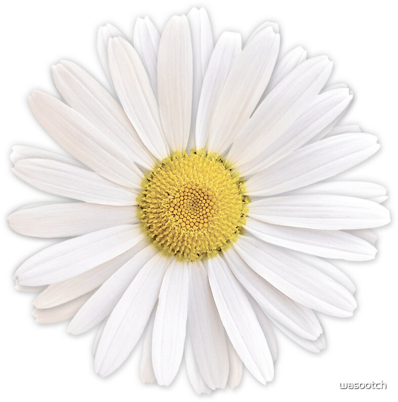 Quot White Shasta Daisy Flower Floral Sticker Quot Stickers By