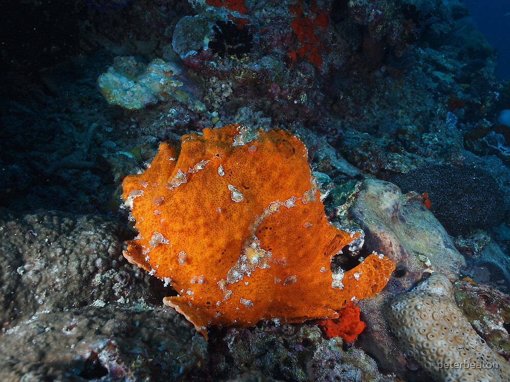 frogfish pretending to be sponge by peterbeaton