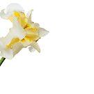 White Iris 4 by Jacinthe Brault