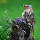 """  Yellow Shafted Flicker  "" by fortner"