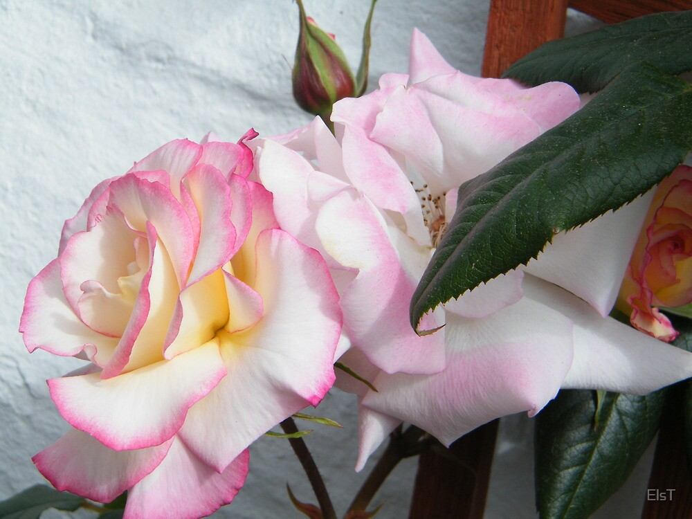 Pink Rose by ElsT