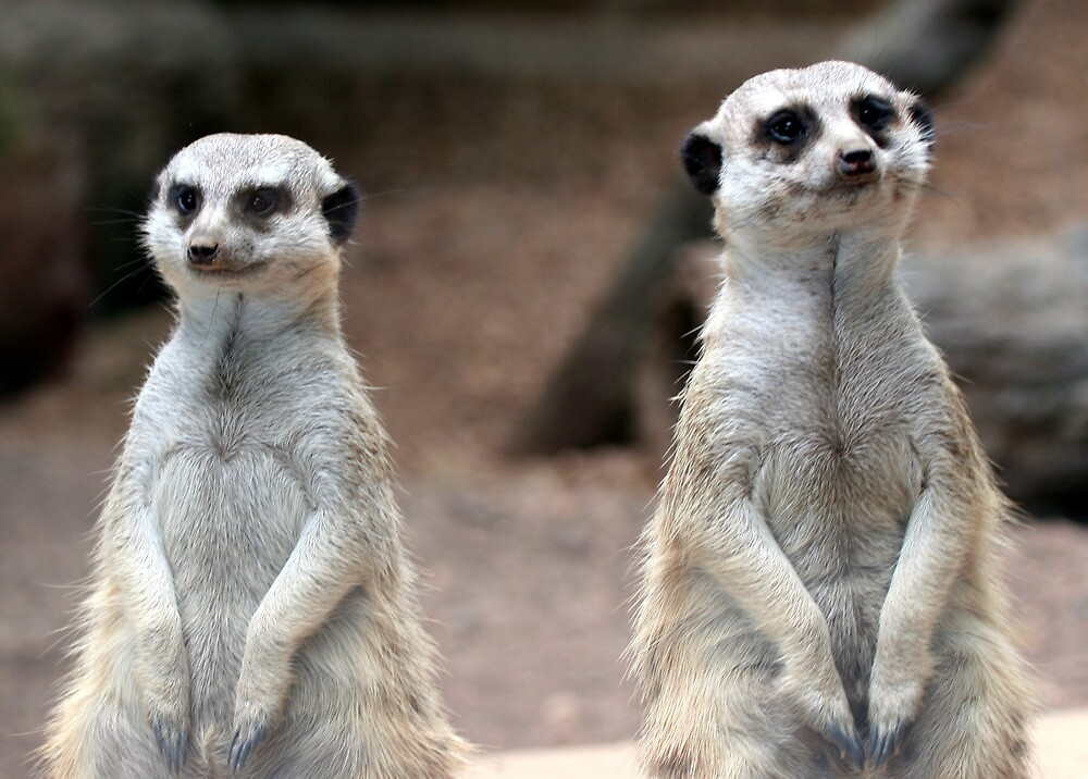 "Meerkat Pair - ""Just me and the Mrs."" by Paula Tohline  Calhoun"