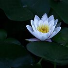 Waterlily White by coffeebean