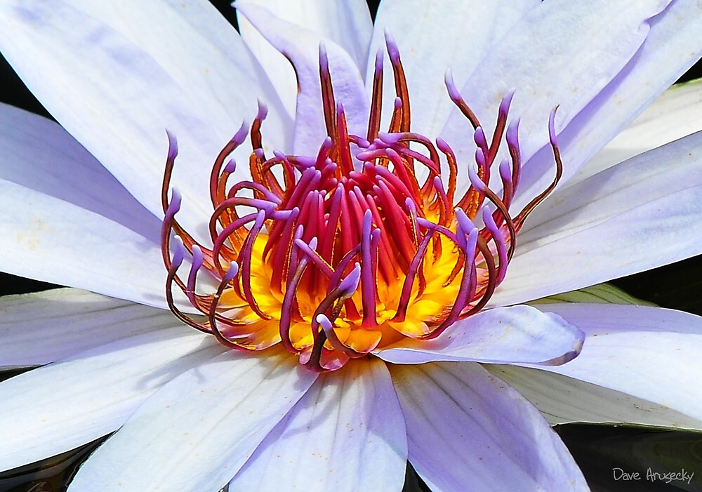 Water lilly....Longwood Gardens by DaveHrusecky
