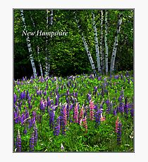 New Hampshire Poster Breathless Among lupines. Photographic Print