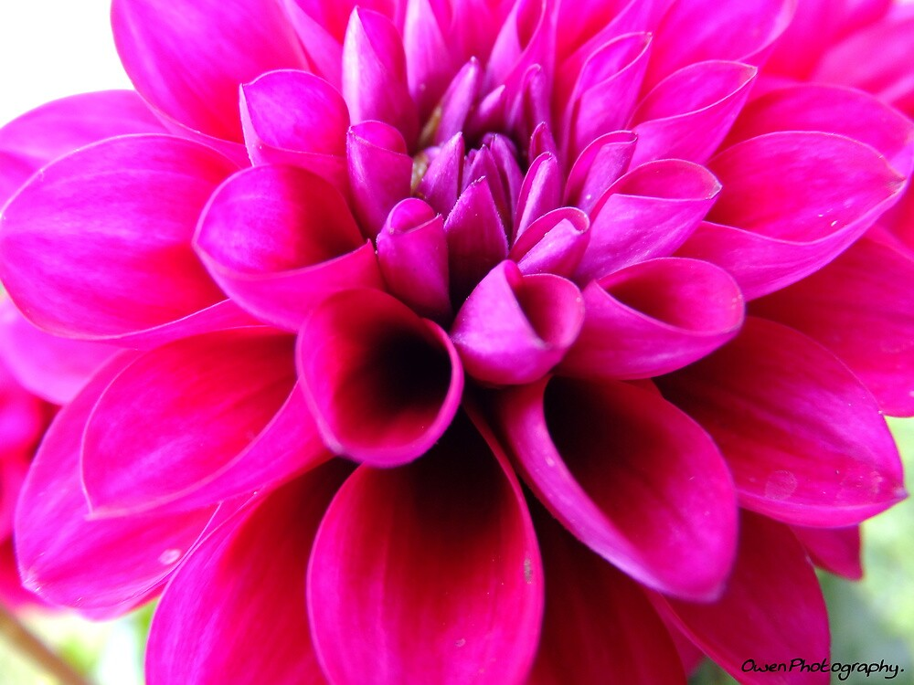 Pink Flower by missemilyo