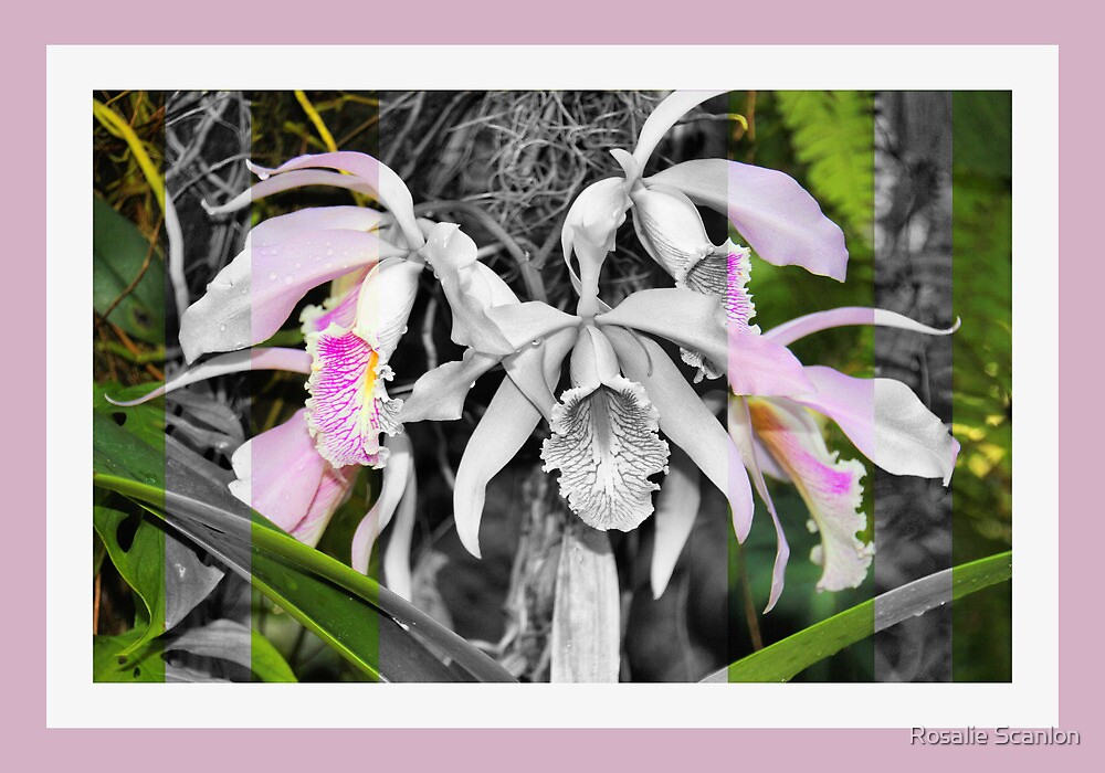 Dendrobium in Black, White and Pink by Rosalie Scanlon