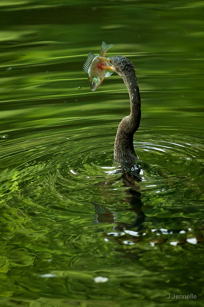 Anhinga Captures Brim by J Jennelle