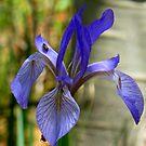 Wild Iris by Christine Ford