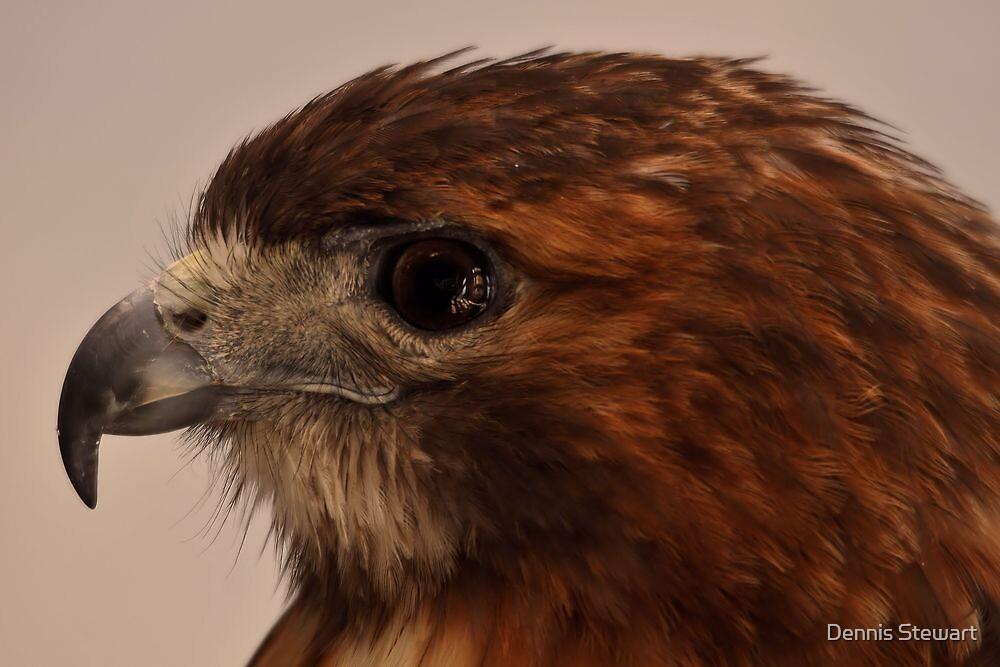 Hawk Profile by Dennis Stewart
