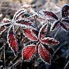 Frost rimmed red leaves by Laurence Norah