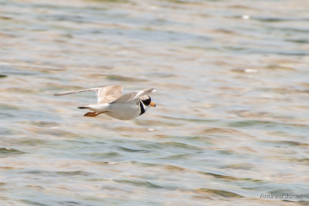 Breaking cover, ringed plover, Bannow Beach, County Wexford by Andrew Jones
