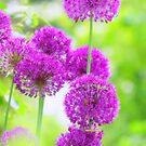 Allium Traum by Aviana