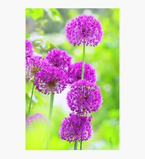 Allium Traum Photographic Print