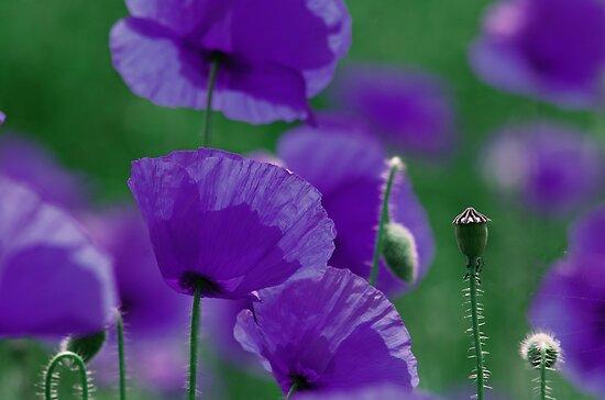violett Mohn Art by Aviana