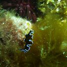 Tiny Little Flatworm - Black Point, South Australia by Dan Monceaux