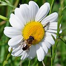 Daisy Bee by ApeArt