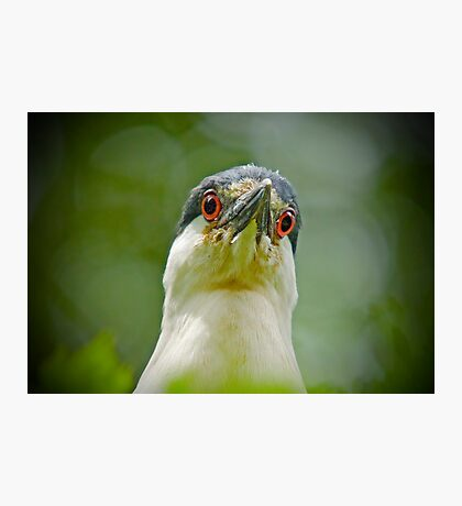 LOOK INTO MY EYES said the Black Capped Night Heron Photographic Print