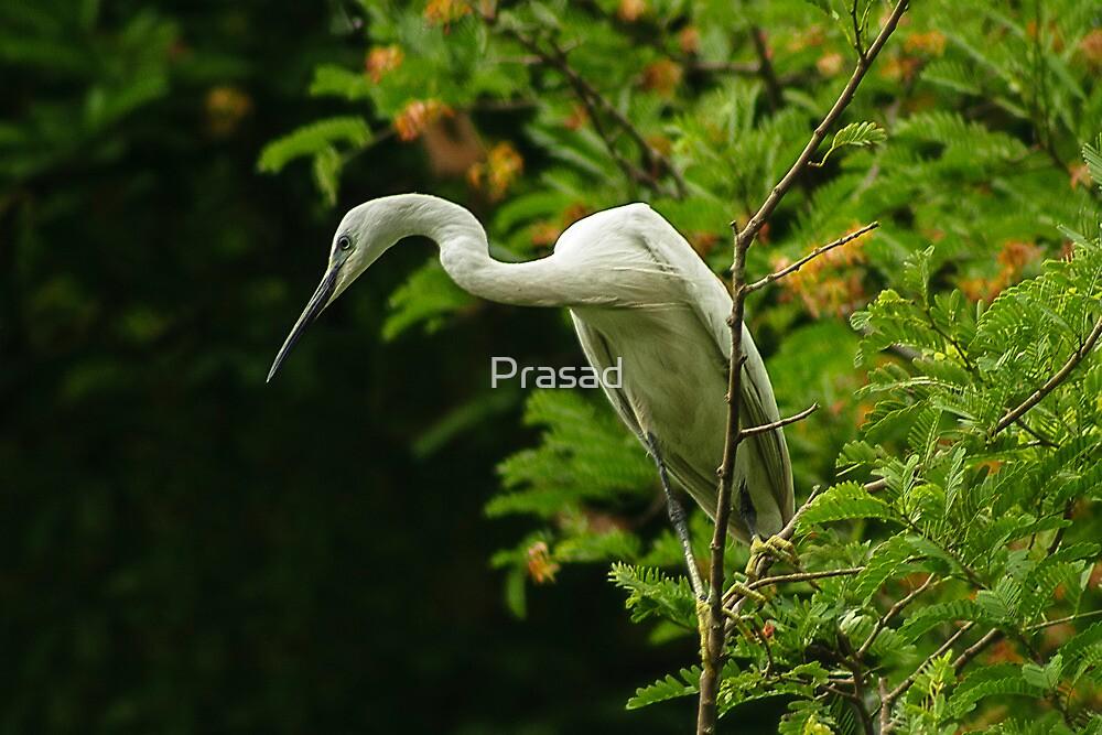 Portrait of an Egret by Prasad