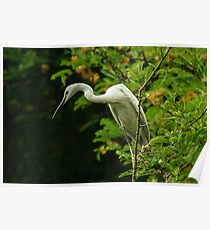 Portrait of an Egret Poster